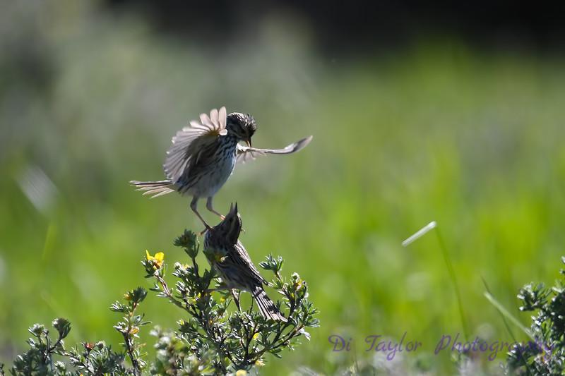 Savannah Sparrow courtship 1  June 26 2018