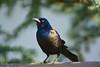 Common Grackle on fence