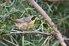 Common Yellowthroat male 2 Aug 7 2018