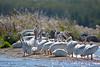 American White Pelicans 2  Aug 26 2017