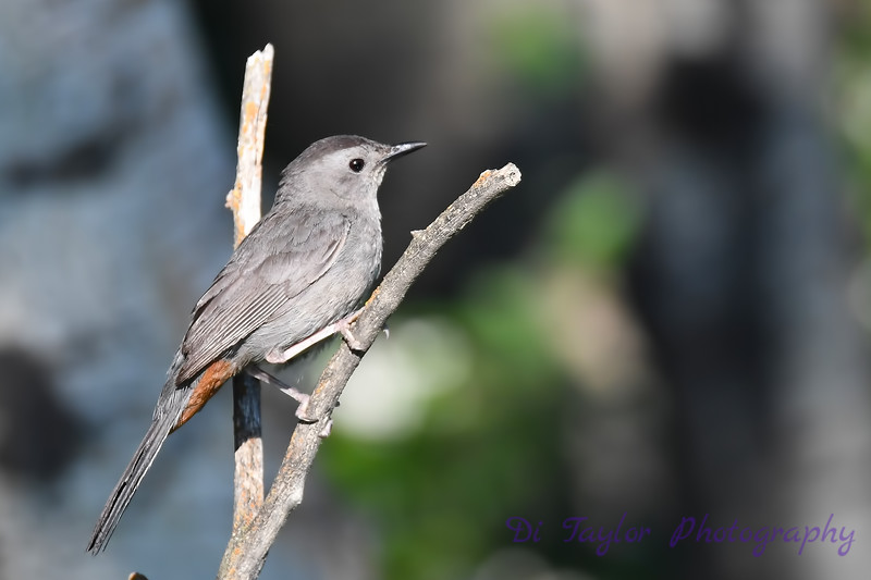 Gray Catbird July 13 2018