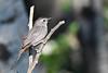 Gray Catbird July 13 2018