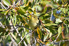 Blackpoll Warbler  3 Sep 16 2020