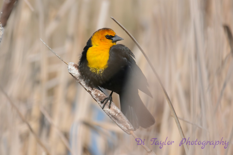 Yellow headed blackbird spring 2017