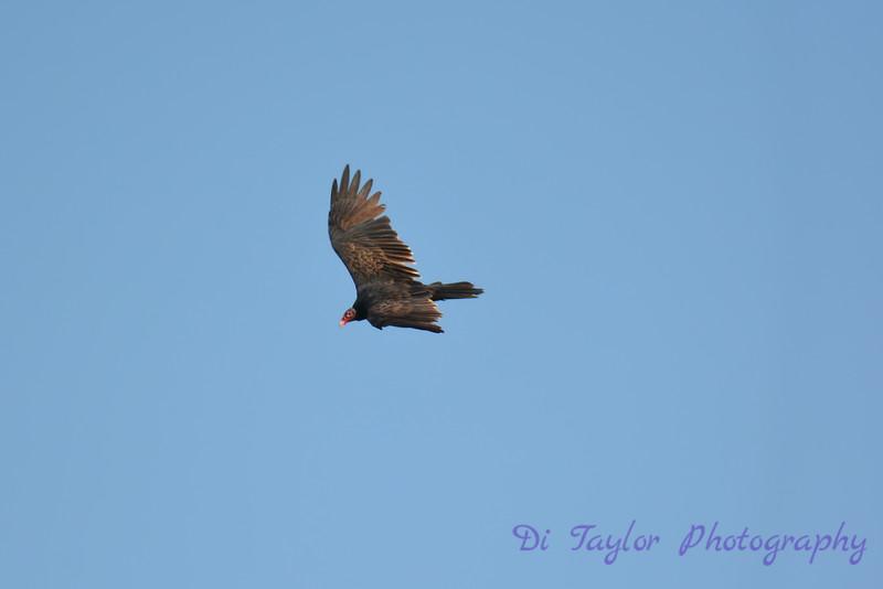 Vulture Sep 10 2017