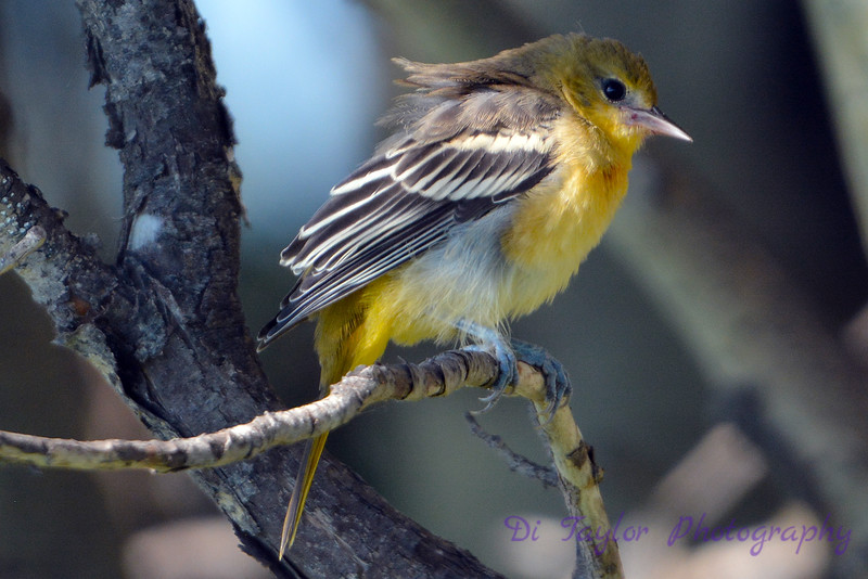 Baltimore Oriole juvenile having a bad hair day