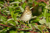 Hermit Thrush 5  Sep 17 2017