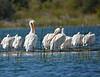 American White Pelicans Aug 26 2017