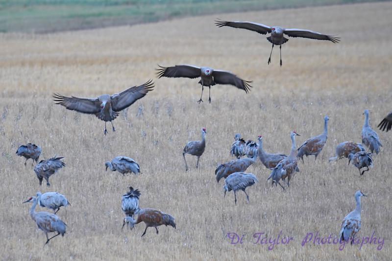 Sandhill Cranes Fall Migration Sep 15 2018