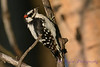 Downy Woodpecker 2  24 Jul 2017