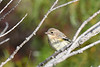 Yellow Rumped Warbler 5 Sep 13 2020