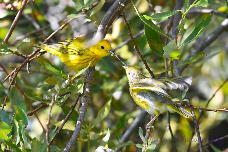 Yellow Warbler male feeding baby 6