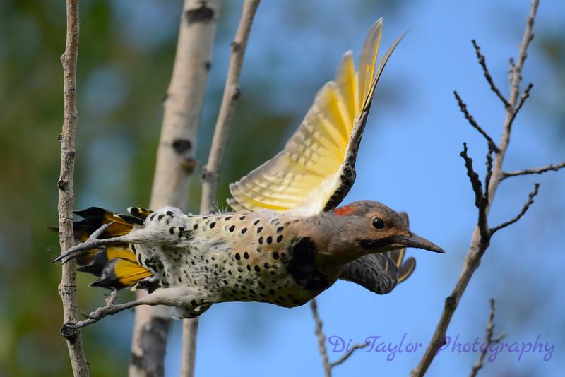 Cedar Waxwing flying off