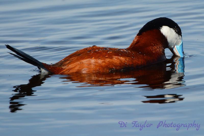 Ruddy Duck Male dipping head