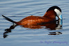 Ruddy Duck Male dipping head