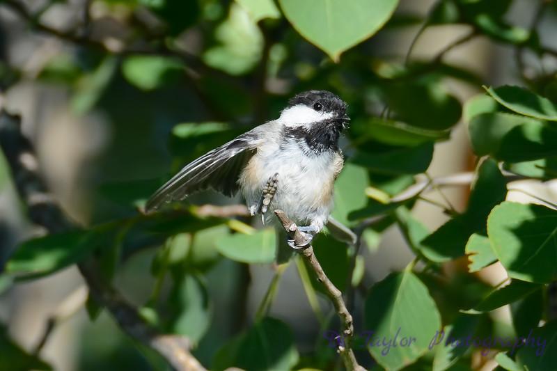 Chickadee in tree 3