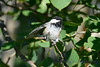 Chickadee in tree 3