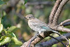 Mountain Bluebird young female 5  Aug 22 2017