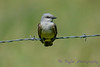 Western Kingbird July 4 2017