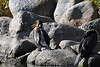 Double Crested Cormorant 1 Sep 7 2018