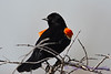 Red Wing Blackbird May 7 2017