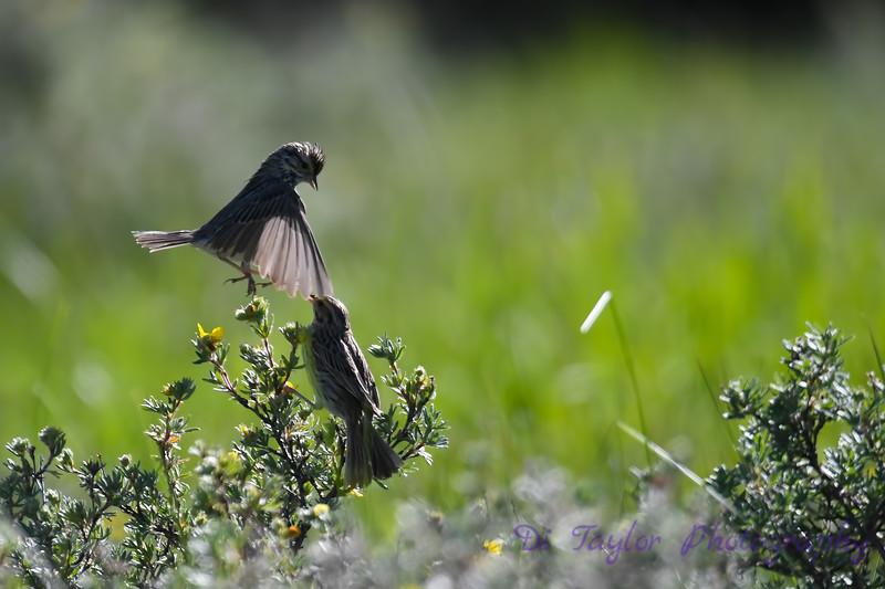 Savannah Sparrow courtship 4  June 26 2018