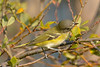 Blue-headed Vireo 4  Sept 2  2017
