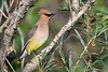 Cedar Waxwing 3  4 Aug 2019
