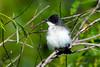 Eastern Kingbird jeuvenile 1