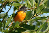 Baltimore Oriole Male 8