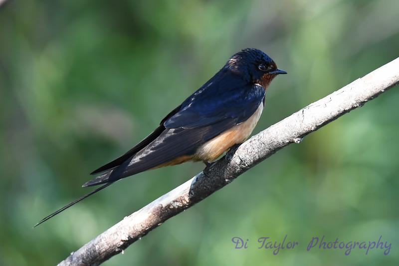Barn Swallow 16 Jul 2020