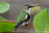 Young Hummingbird displaying head feathers