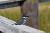 Belted Kingfisher female 3  Aug 19 2018