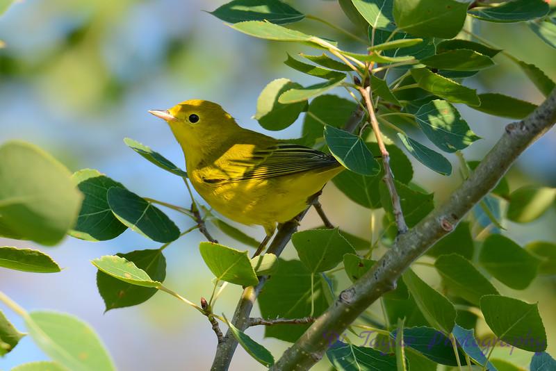 Yellow Warbler 22