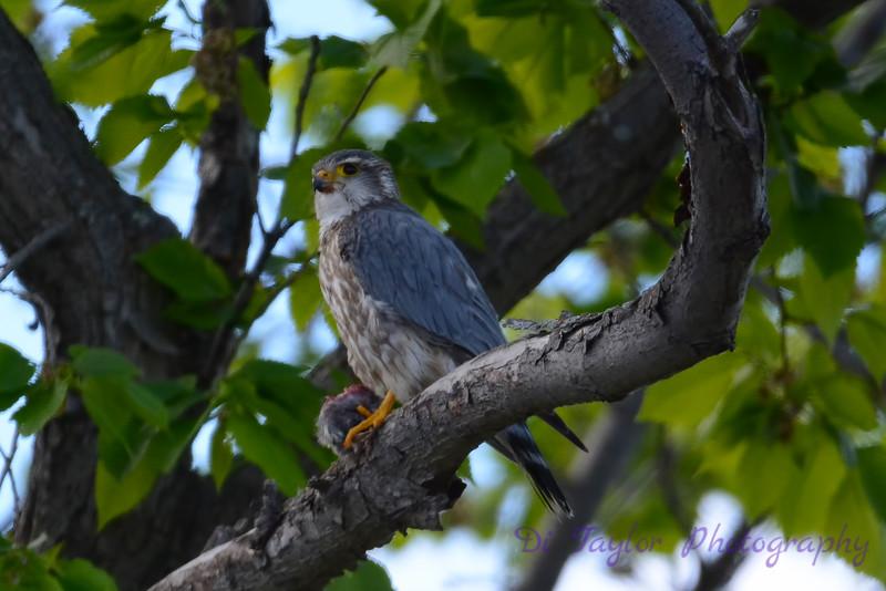 Merlin in tree 4