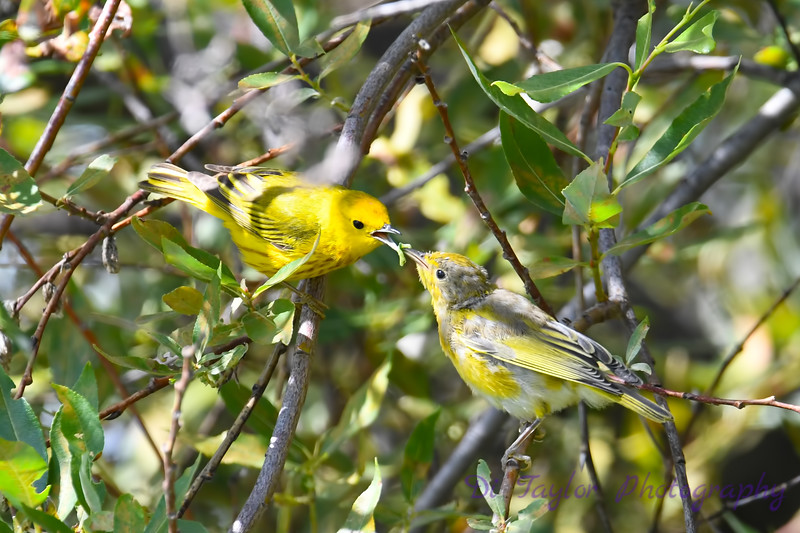 Yellow Warbler male feeding baby 3