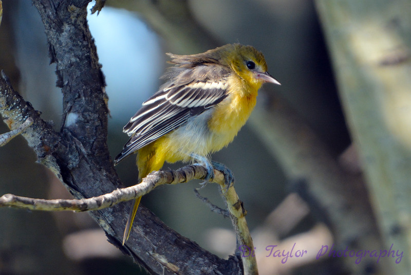 Baltimore Oriole juvenile having a bad hair day 1