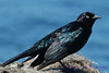 Rusty Blackbird 1