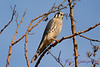 American Kestrel in tree 4