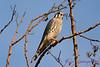 American Kestrel in tree 4