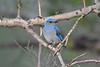 Mountain Bluebird Juvenile 8 July 2017