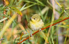 Tennessee Warbler 5 Sep 13 2020