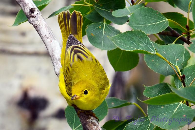 Yellow Warbler 6
