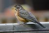 American Robin jeuvenile singing
