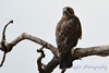 Swainson's Hawk looking back