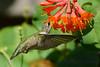 Ruby Throated Hummingbird in Honeysuckle Trumpet Vine 50