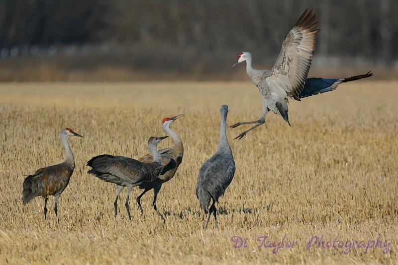 Sandhill Cranes posturing 5