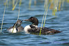 Common Loon adult and juvenile 2  Aug 26 2017