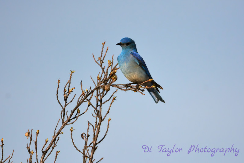 Mountain Bluebird spring 2017