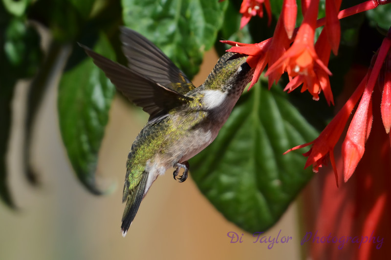 Ruby Throated Hummingbird in Fuschia